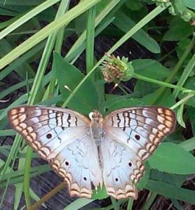 butterfly_crop